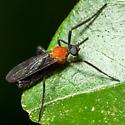 male love bug - Plecia americana - male