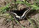 Possible subspecies of Indra Swallowtail? - Papilio indra