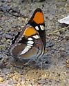 California Sister Butterfly puddling - Adelpha californica