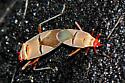 Dysdercus  - Dysdercus bimaculatus