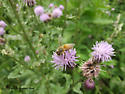 unknown insect - Apis mellifera