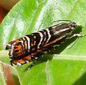 Moth - Thaumatographa jonesi