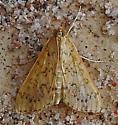 Moth-Bougainvillea Caterpillar Moth--Asciodes gordialis - Asciodes gordialis