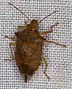 Bug - Podisus maculiventris