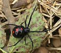 Black Widow Spider - Latrodectus variolus - female