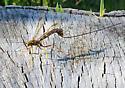 Megarhyssa macrurus? (on sugar maple stump.) - Megarhyssa macrurus - female