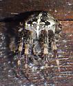 Barn Spider - Araneus diadematus - female