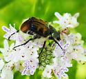 forked antennae beetle - Trichiotinus viridans