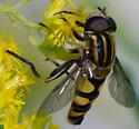 Wasp or hornet? - Helophilus