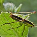 meadow katydid - male
