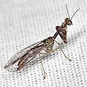 Mantidfly - Leptomantispa pulchella