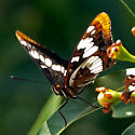 Limenitis lorquini powelli - Limenitis lorquini
