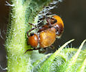 Is this a velvet ant with no hair? - Dasymutilla vesta