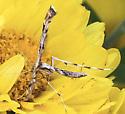 Plume moth - ?