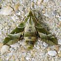 Clark's Day Sphinx - Proserpinus clarkiae - male