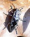 I've seen it before.. - Chalcophora virginiensis