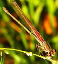 American Rubyspot - Hetaerina americana - female