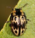 leaf beetle - Chrysomela