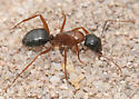 Ant associated with a Messor colony - Camponotus dumetorum