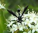 Thick-headed Fly - Physocephala tibialis