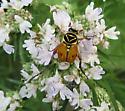Delta Flower Scarab - Trigonopeltastes delta