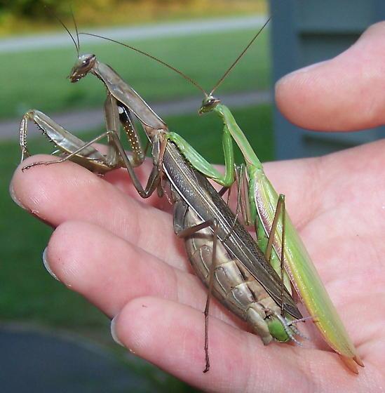 Mating European Mantids - Mantis religiosa - male - female