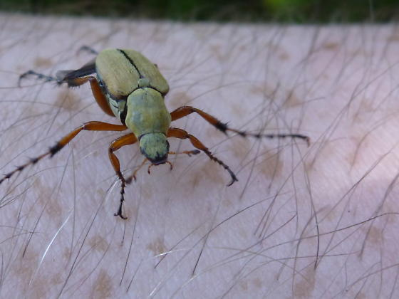 unknown insect - Macrodactylus subspinosus