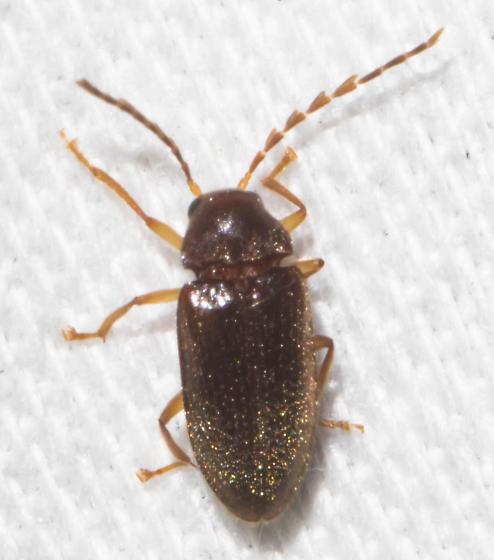 Early June beetle - Ptilodactyla
