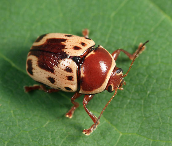Case-bearing Leaf Beetle - Cryptocephalus mutabilis