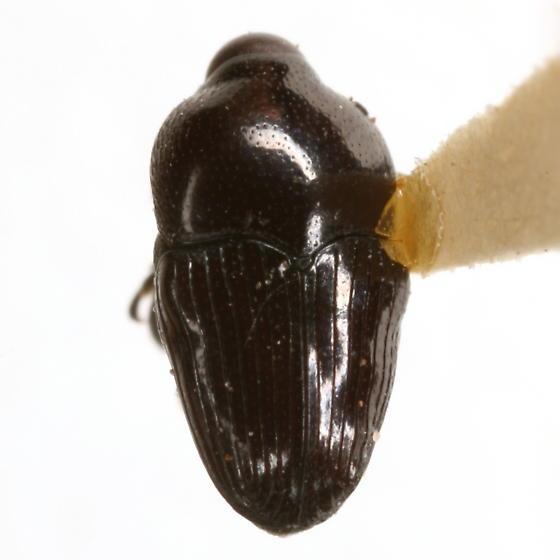 Madarellus cuneatus Casey - Madarellus cuneatus