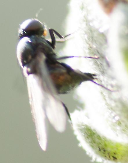 Unknown Fly - Melanagromyza