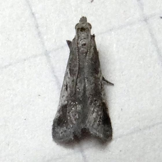 Hodges #5581 – Milgithea alboplagialis ? - Alpheias oculiferalis