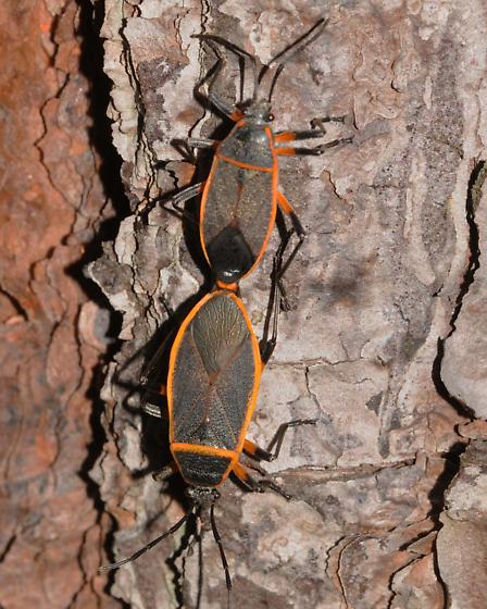 Largidae - Bordered Plant Bugs, Largus sp. - Largus - male - female