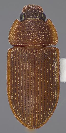 Colobicus parilis