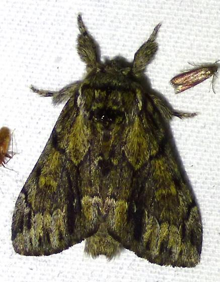 Hyperaeschra georgica - Georgian Prominent? - Paraeschra georgica
