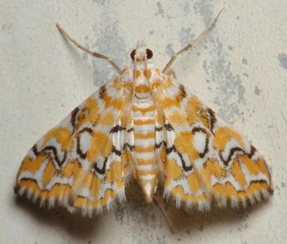 Orange and white moth - Elophila icciusalis