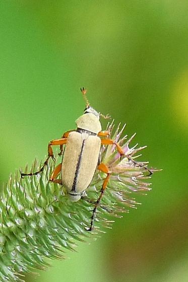 Beetle? - Macrodactylus