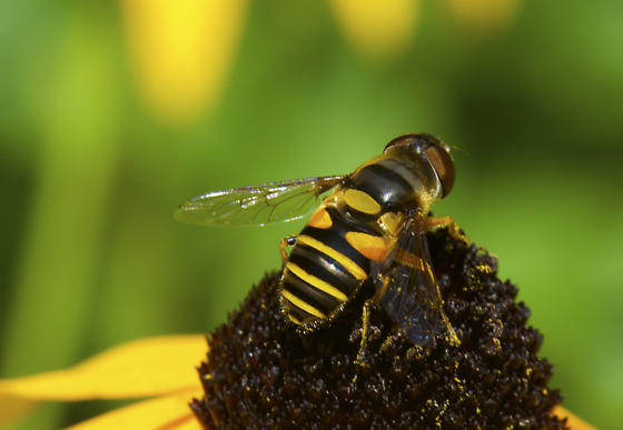 Syrphidae - but which one? - Eristalis transversa