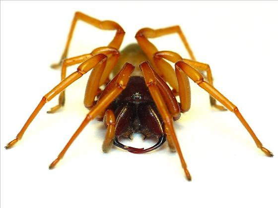 Unknown Spider - Dysdera crocata