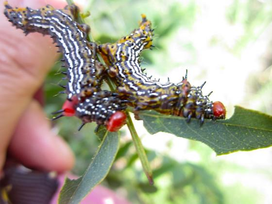 interesting Caterpillars - Schizura concinna