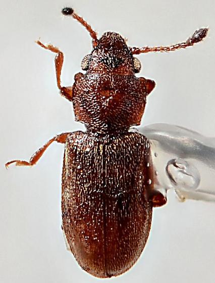 Silvanid Flat Bark Beetle? - Ahasverus advena