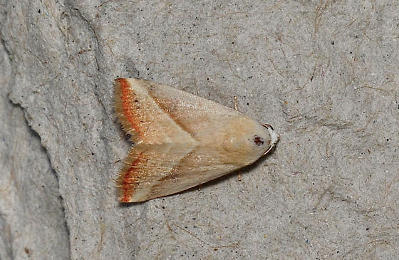 Unidentified moth - Eublemma recta