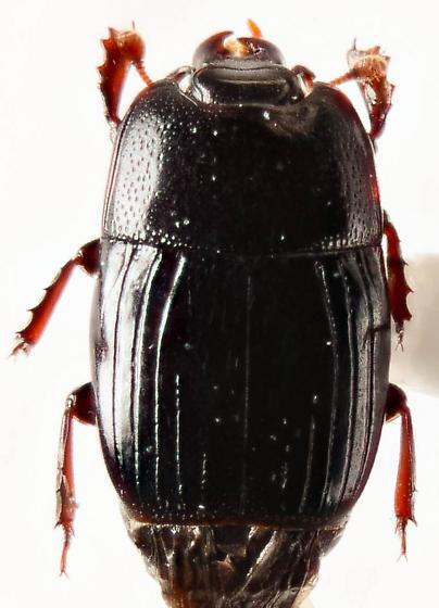 Small Histerid... - Platysoma leconti