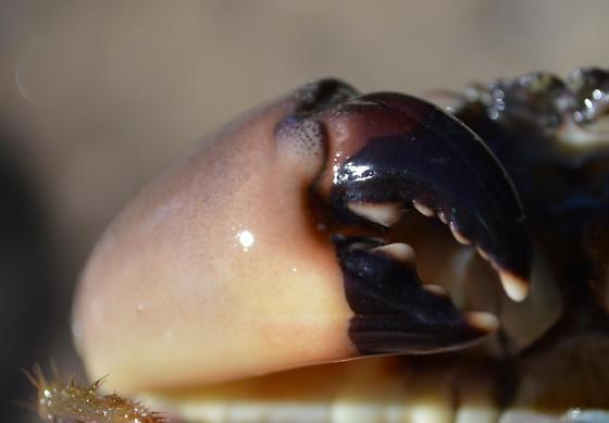 Stone Crab- Menippe mercenaria - Menippe mercenaria - female