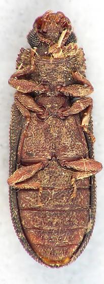 Cylindrical Bark Beetle - Bitoma quadricollis