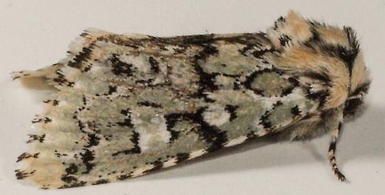 Moth to porch light - Feralia