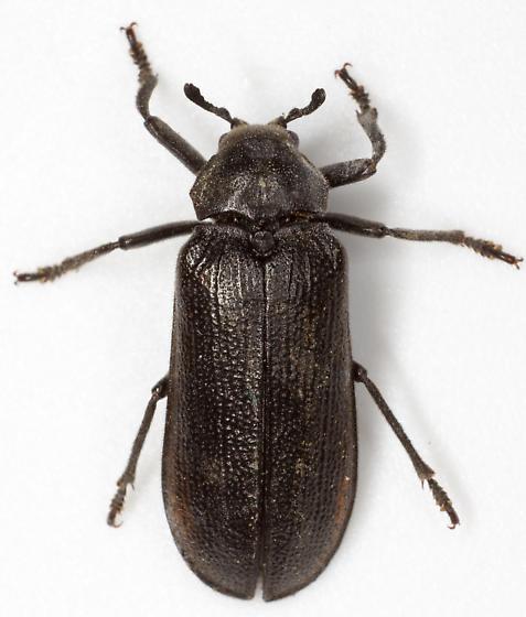 Sandalus petrophya? - Sandalus petrophya - female