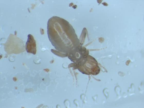 Small polyneopteran found in G. bimaculatus cages - Liposcelis