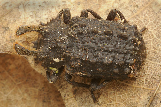 Beetle from a Rotting Tree - Bolitotherus cornutus