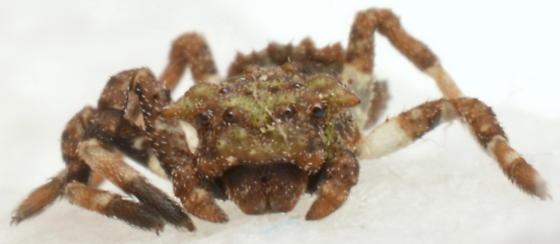 Bucranium sp. - Bucranium - female